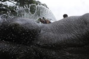 L'elefante reale viene accuratamente lavato e strigliato